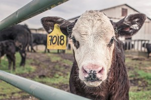calf-362170_640_photo_RyanMcGuire